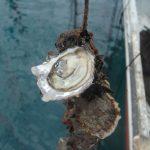 Huîtres de Camargue N 3